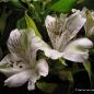 Astromelia
