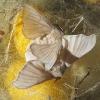 Mariposas del gusano de la seda