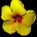 ibiscus.jpg
