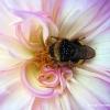 Rosa con abeja
