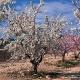 Almendros en flor Aledo Murcia