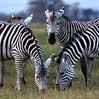 Cebras Masai Mara Reserva Natural Kenia Africa