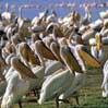 PelicanosPelicanos Lago Nakuru Kenia Africa