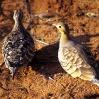 Perdices Samburu Kenia Africa