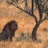 Leon Gran Serengueti Tanzania