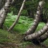 Abedules y helechos Pirineos