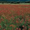 Campo de amapolas primavera